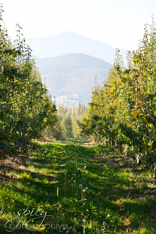Harry and David Pear Orchard | ASpicyPerspective.com #Oregon #gifts #travel